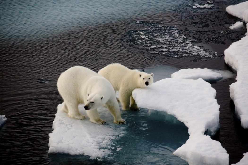 地球温暖化の影響を受けるホッキョクグマ